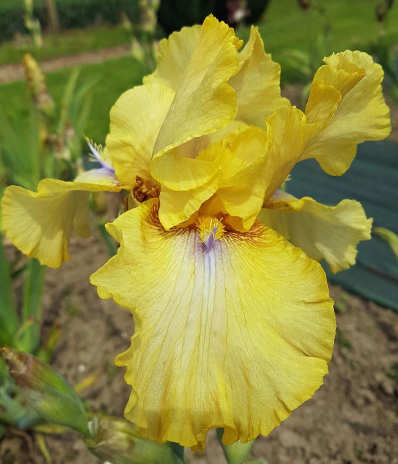 un bel iris jaune sans nom Inconn10