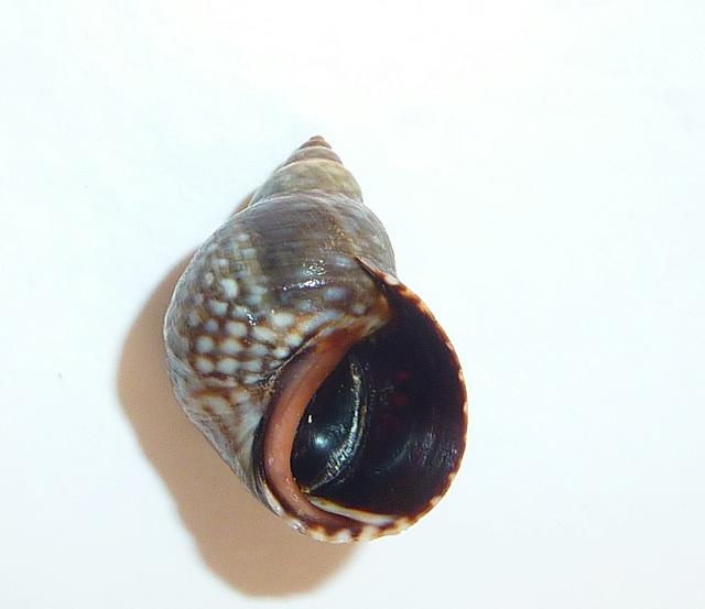 Echinolittorina punctata - (Gmelin, 1791) Znatic11