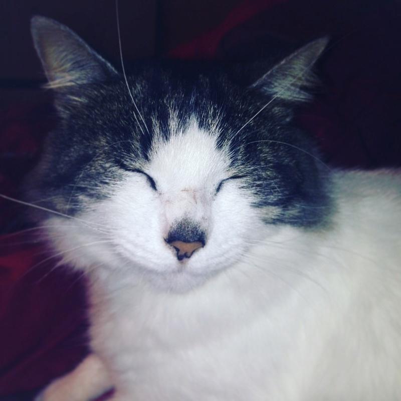 HARIETTE, chatte européenne, poils mi-longs, tabby grise&blanche, née en 2012 Img_1410