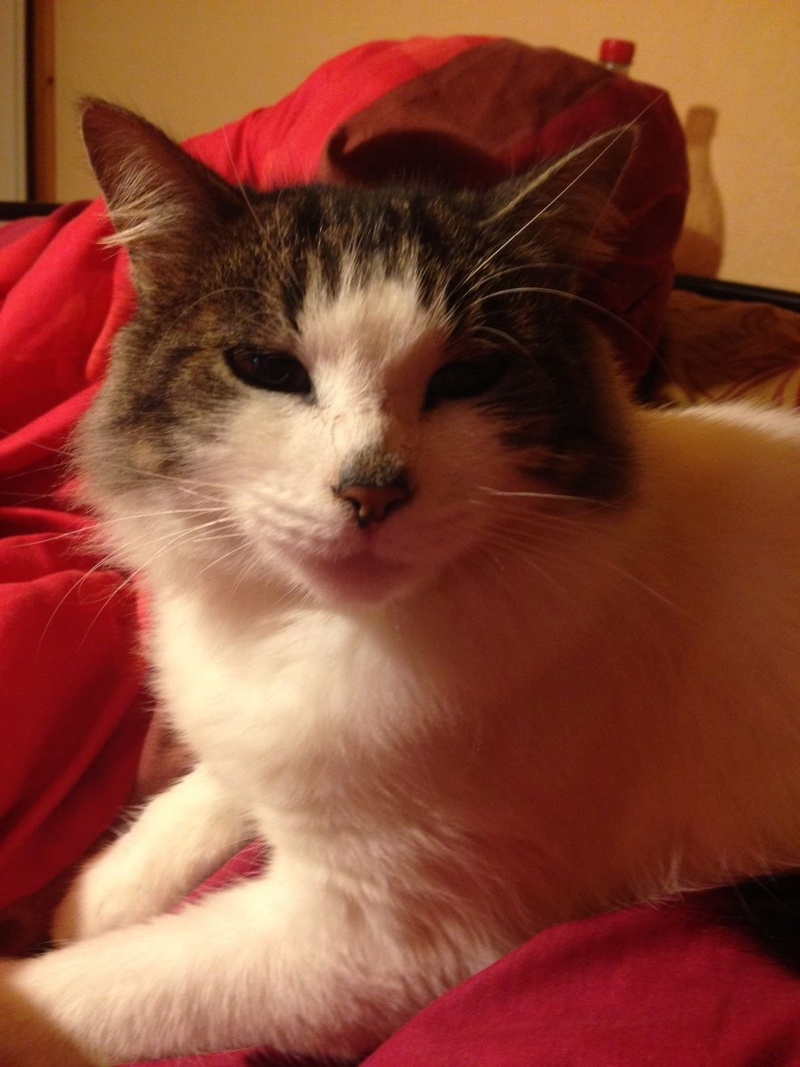 HARIETTE, chatte européenne, poils mi-longs, tabby grise&blanche, née en 2012 Img_1414