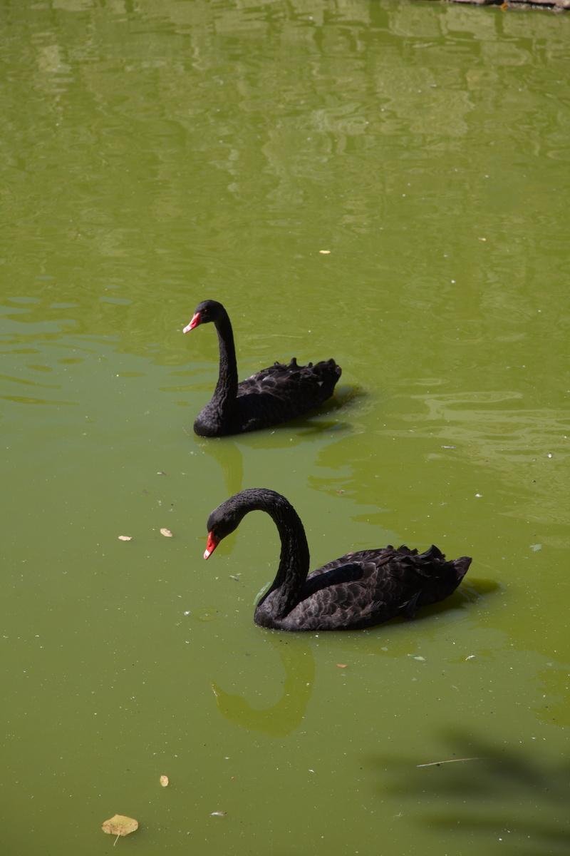 Black swan Img_0014