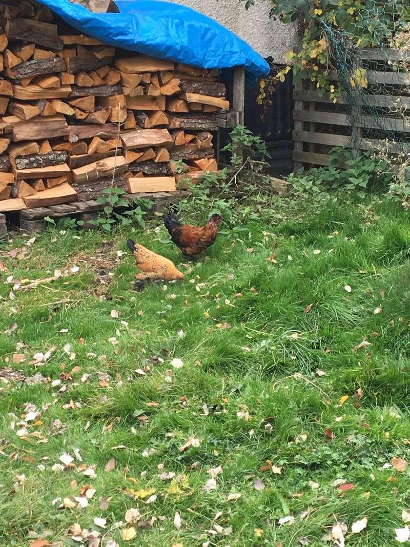 Abandon de poules ?!? Image11