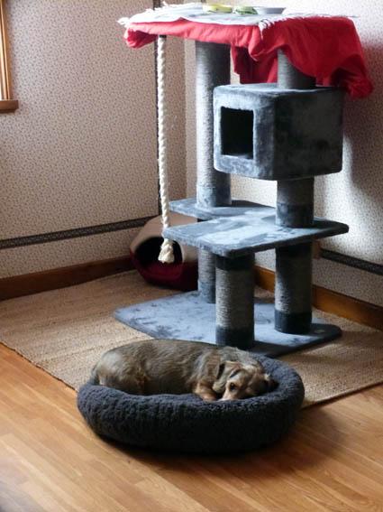SHANA - chat femelle aveugle, née en fin 2016 - EN FA A PASCANI - Adoptée par Nanette 71 (71) P1040311