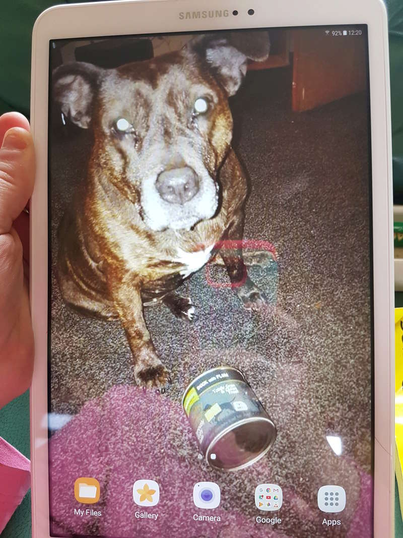 my 14 year old staffie anddementia 20170910