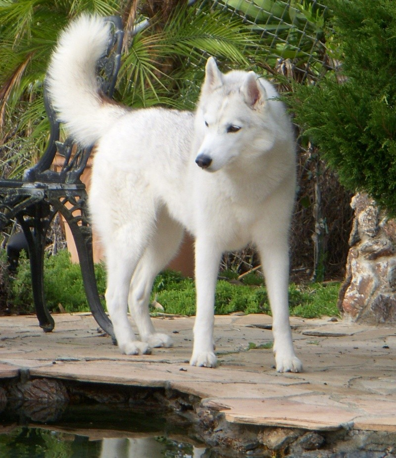 Are white huskies, in general, larger? Do I have a mix? Image44