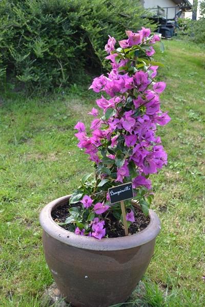 Les plantes en pots au jardin. 023_8020