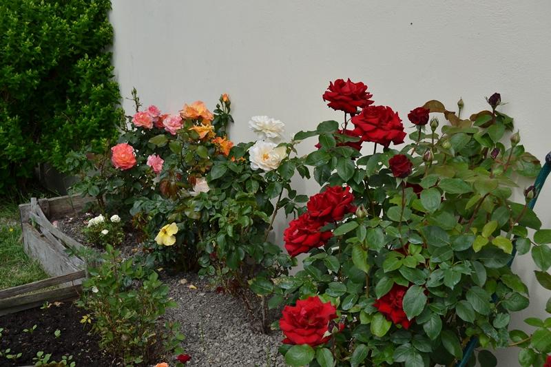 Les rosiers 037_8012