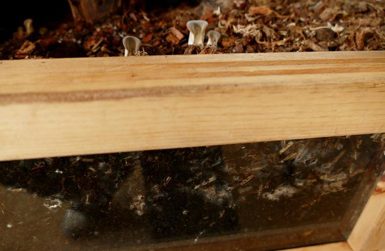 Mes champignons de terrarium Champi11
