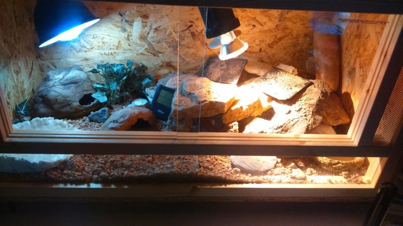 Aide gecko leopard  Dsc-0010
