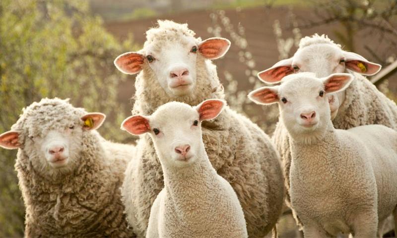 Shammoo update - Page 10 Sheep110