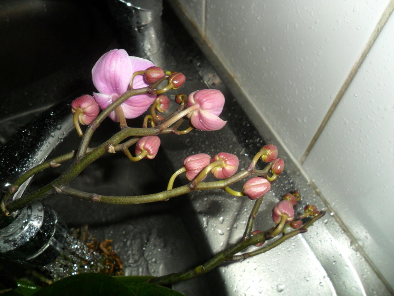 Mes orchidees - Page 4 Sam_2114