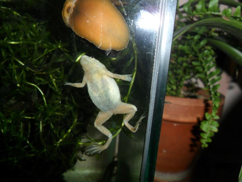 Mes grenouilles de petites tailles - Page 13 Sam_2429