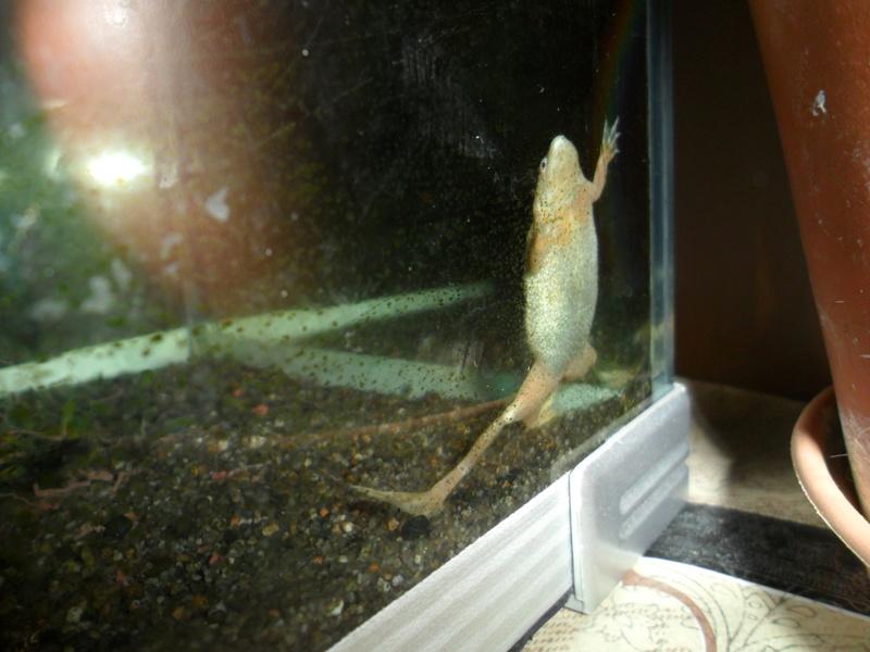Mes grenouilles de petites tailles - Page 13 Sam_2430