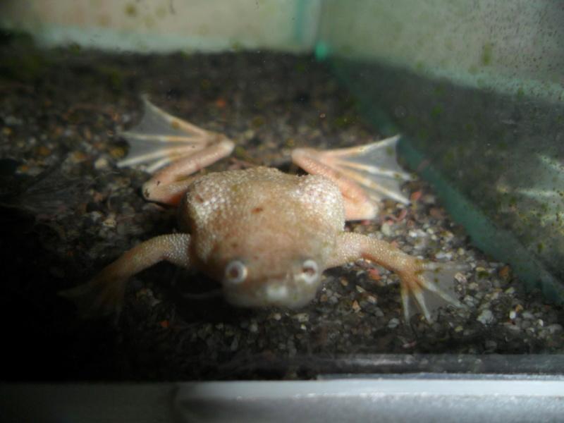 Mes grenouilles de petites tailles - Page 13 Sam_2520