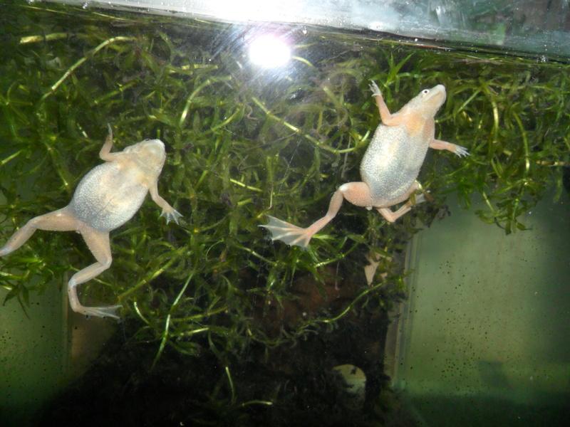 Mes grenouilles de petites tailles - Page 13 Sam_2615