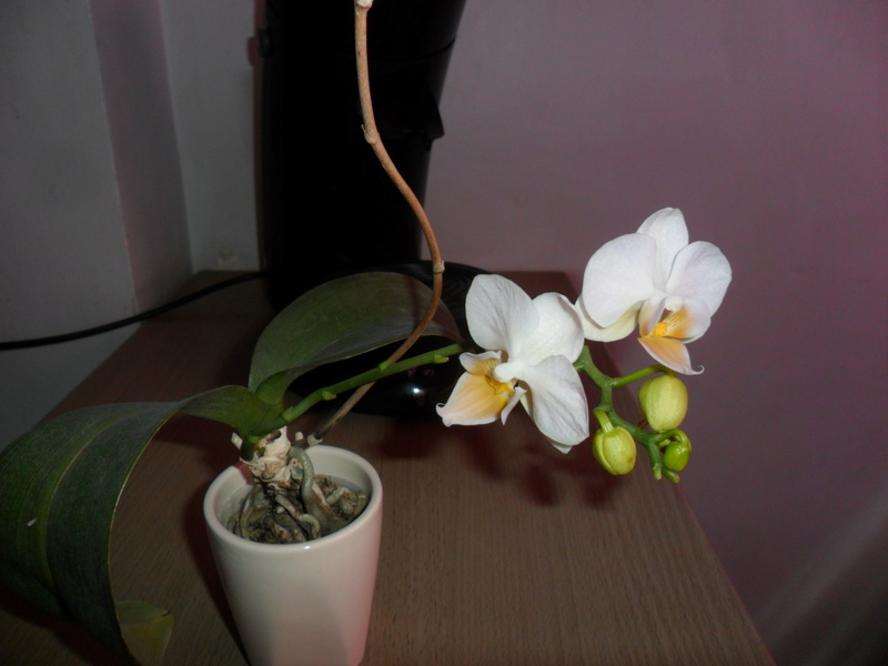 Mes orchidees - Page 4 Sam_3733