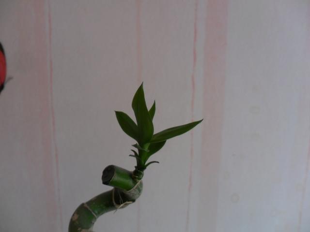 Bambou pascal Sam_4037