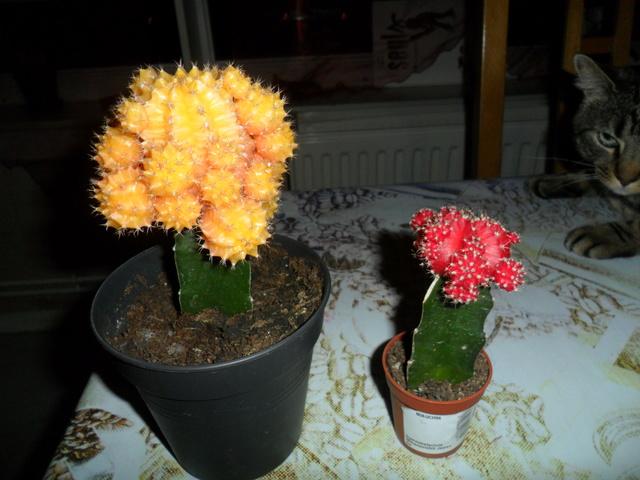 Mes bébés cactus - Page 3 Sam_4115