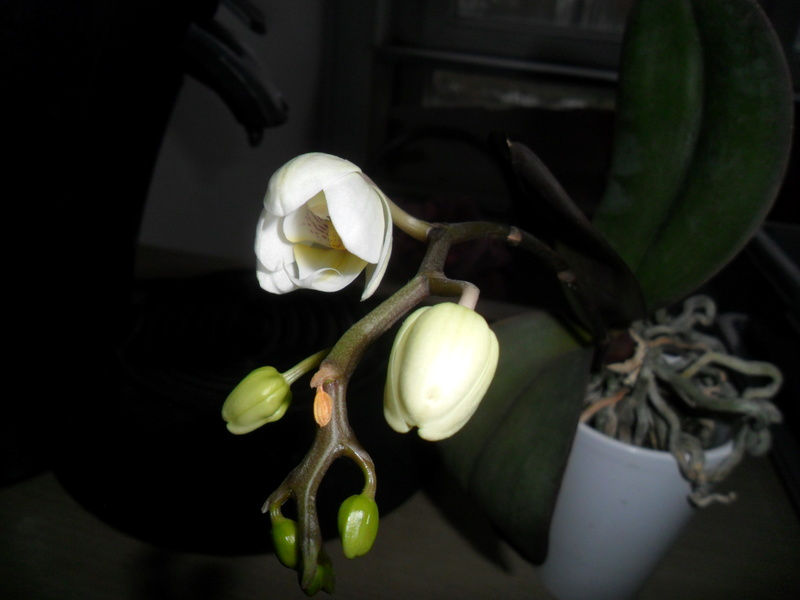 Mes orchidees - Page 5 Sam_5314