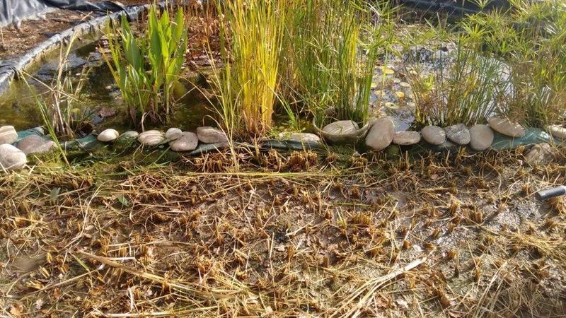 Culture du riz de Camargue .. au Puy ... Aprys_10