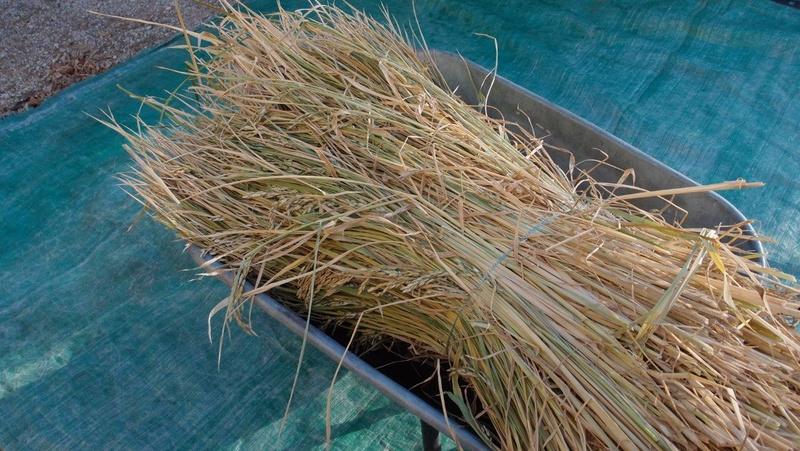 Culture du riz de Camargue .. au Puy ... Botte_10
