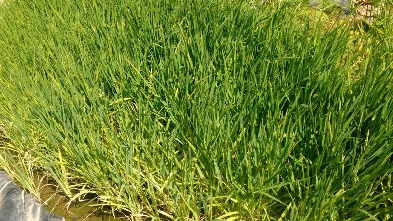 Culture du riz de Camargue .. au Puy ... Img_2041