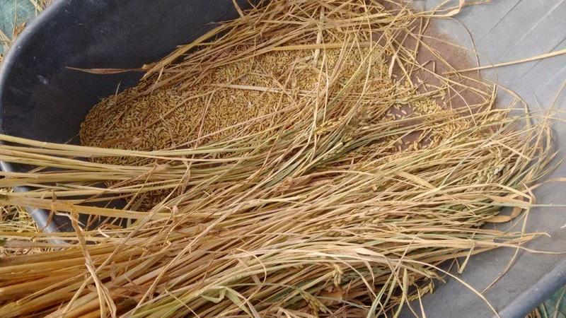 Culture du riz de Camargue .. au Puy ... Img_2047