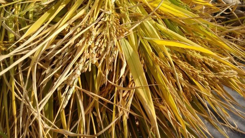 Culture du riz de Camargue .. au Puy ... Img_2048