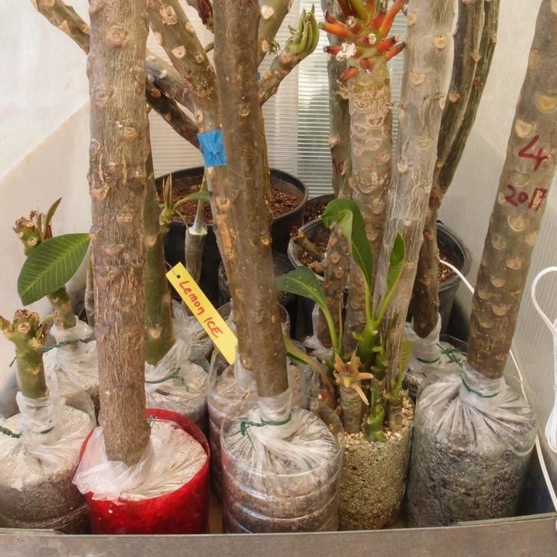 Ma récolte de bouture de frangipanier du mois d'Aout de Thailande... P9200610