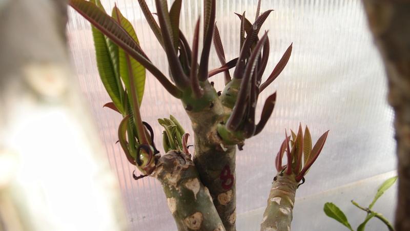 Ma récolte de bouture de frangipanier du mois d'Aout de Thailande... Pa240910