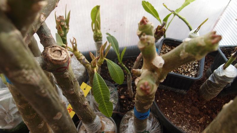 Ma récolte de bouture de frangipanier du mois d'Aout de Thailande... Pa240911