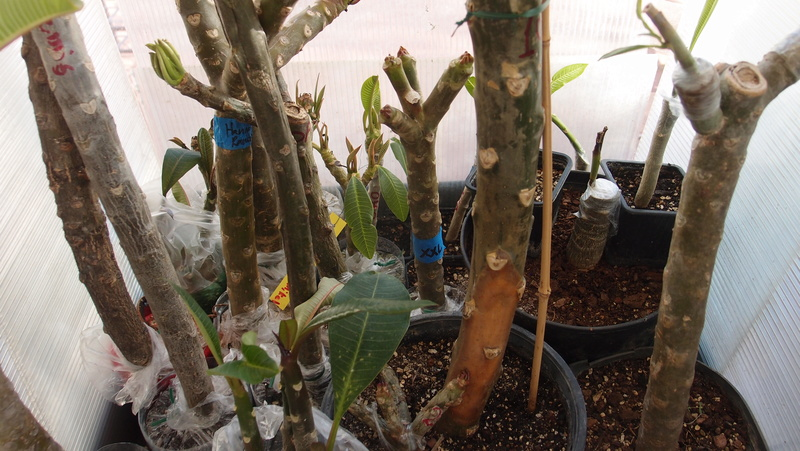 Ma récolte de bouture de frangipanier du mois d'Aout de Thailande... Pa240912