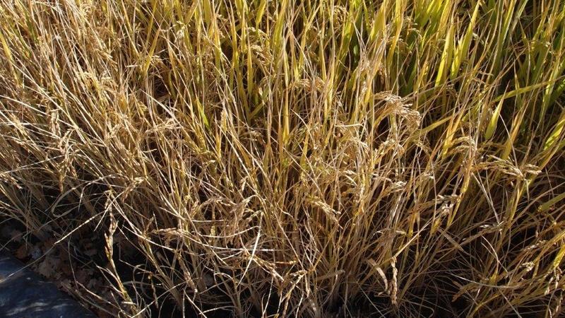 Culture du riz de Camargue .. au Puy ... Pa310919