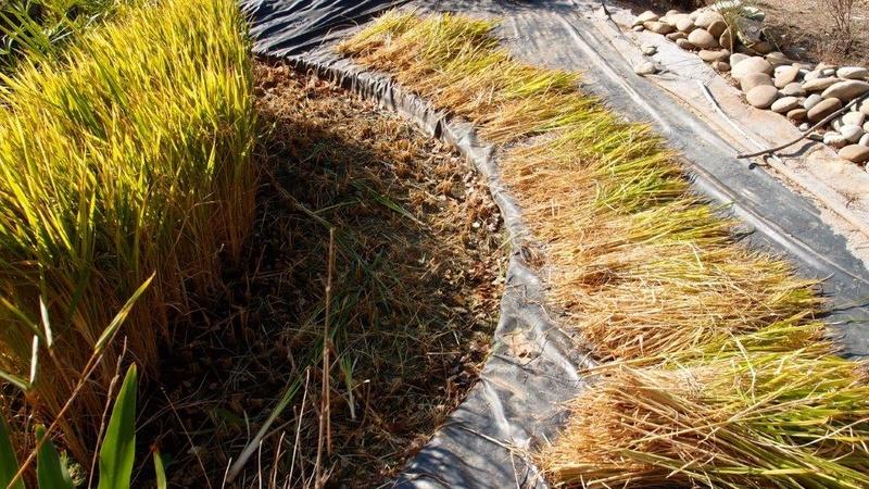 Culture du riz de Camargue .. au Puy ... Pa310921