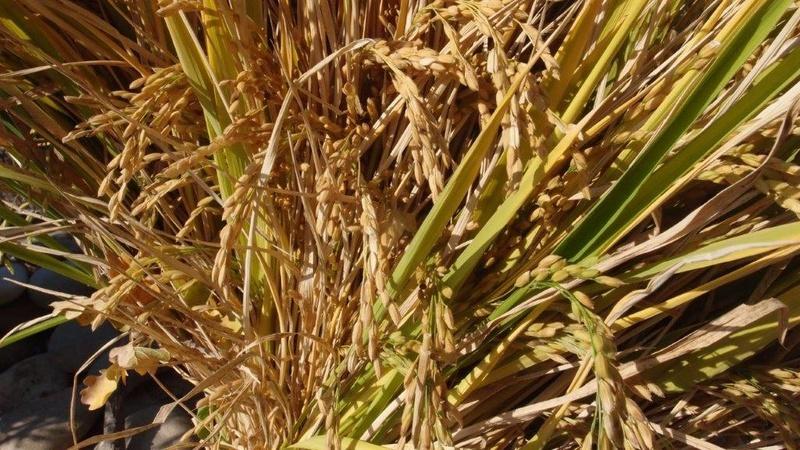 Culture du riz de Camargue .. au Puy ... Pa310923
