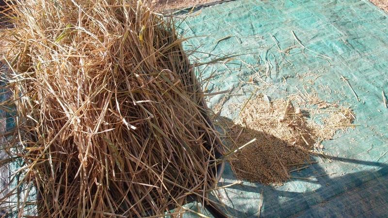Culture du riz de Camargue .. au Puy ... Pb291012