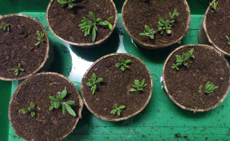 semis  de lavande  Semis_10