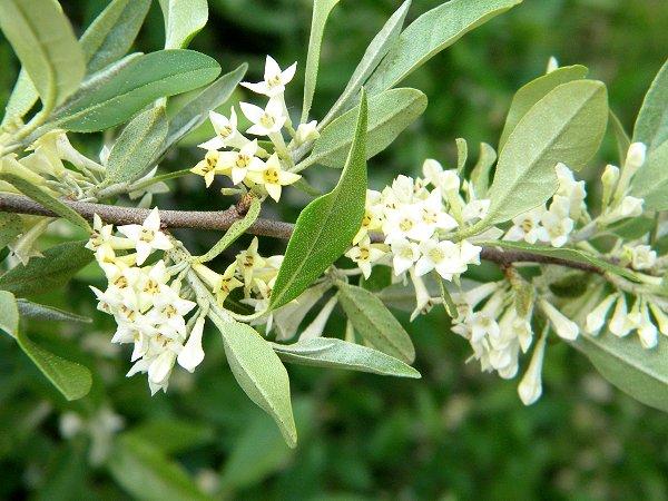 Arbuste fleurs blanches. Daphne alpina. Arbust10