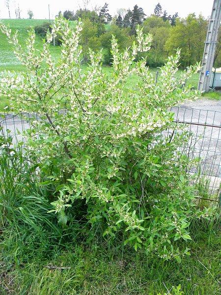 Arbuste fleurs blanches. Daphne alpina. Arbust12