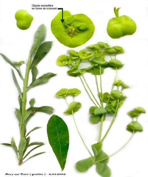 sauvage ou pas??pas PANAIS sauvage;Smyrnium perfoliatum subsp Eupham10