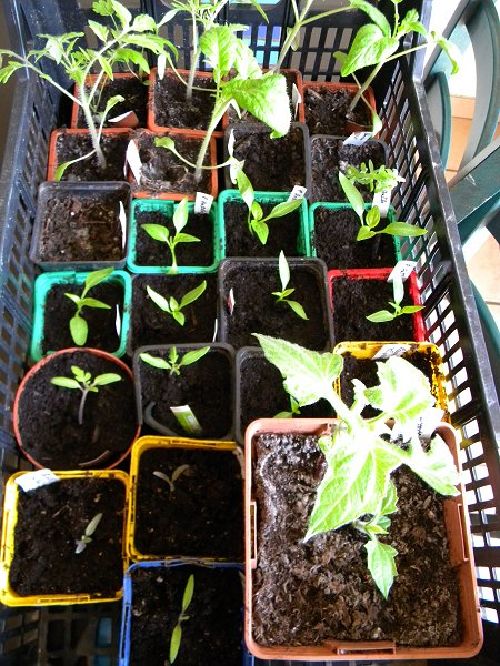 semis de tomates - Page 26 Semis210