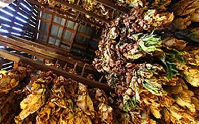 Le séchage des feuilles de tabac Air211
