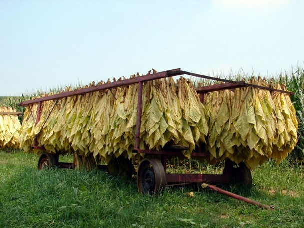 Le séchage des feuilles de tabac Soleil13