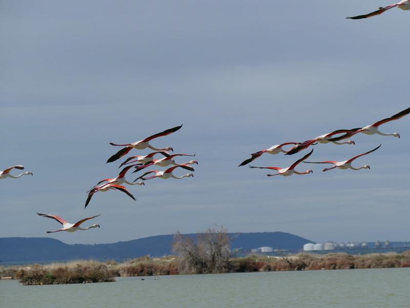 Escadron de flamants roses P1230919