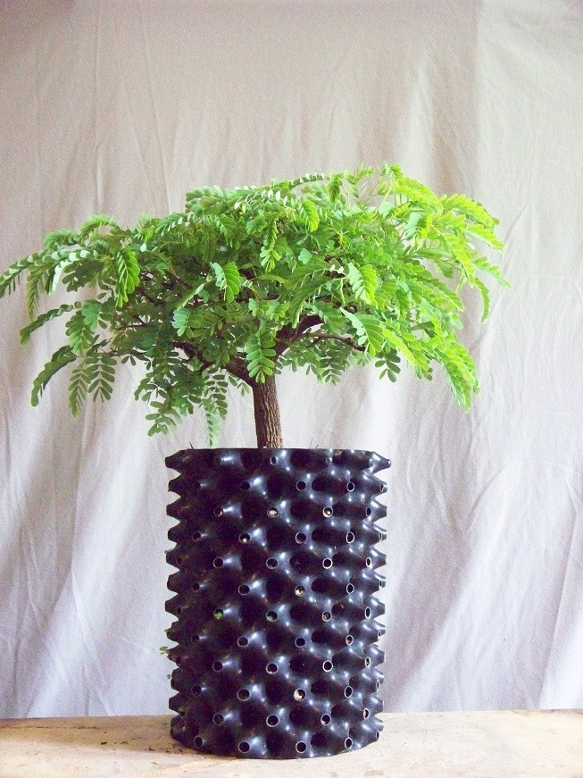 My very first plant - tamarind Air_po10