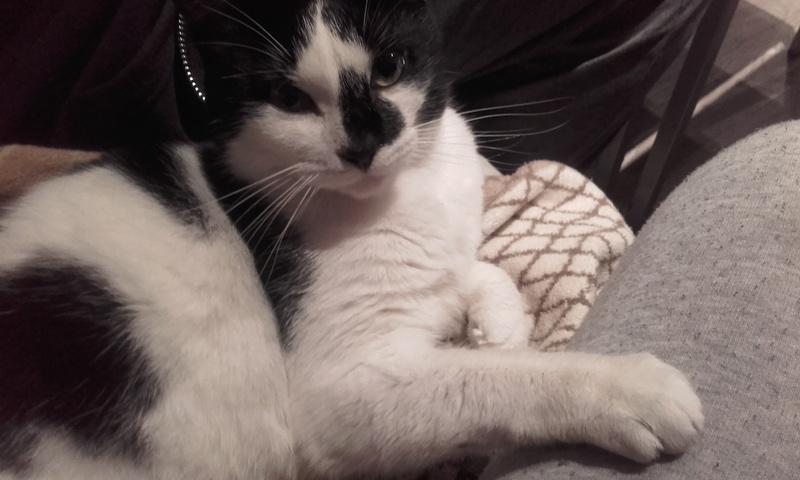 liona - LIONA, chatte européenne Noire&Blanche, née en 2015. 00610