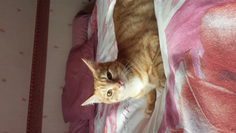 Nino , chaton roux Tabby et blanc, Né le 26/02/2017 20171214