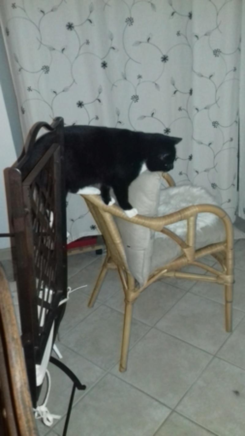 jevris - Jevris - chat mâle européen noir et blanc - nė en 2014 20180110