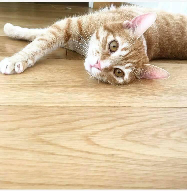 Nekos, jeune mâle tigré roux, néle 01/01/2017 27858210