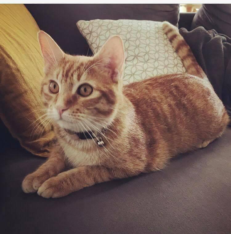 Nekos, jeune mâle tigré roux, néle 01/01/2017 27972710